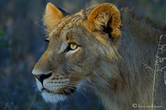 Crown prince? (leendert3) Tags: africanlion leonmolenaar southafrica krugernationalpark nature wildlife ngc npc
