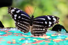 20170715-IMG_7371 (SGEOS@EARTH) Tags: vlindertuin vlinder vlinders butterfly butterflies vlindersaandevliet observer colorfull insects nectar indoor nature wildlife canon macro 100mm
