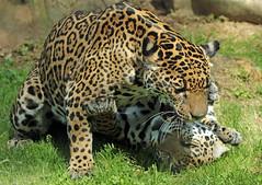 jaguar Miranda and Bess Krefeld BB2A1550 (j.a.kok) Tags: jaguar pantheraonca krefeld zoogdier zuidamerika southamerica kat cat mammal dier animal bess miranda moederenkind motherandchild