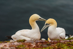 Gannet-love (markus.jacobs1899) Tags: helgoland natur nordsee tiere vögel wildtiere foudebassan alcatrazatlántico nikon d700 nikkor70200mm tele