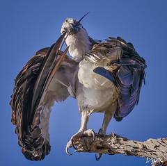 Osprey (Don's Photostream) Tags: osprey feather theking