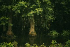 """condensed soup (listening to """"lived in bars"""", cat power) (haint_blue) Tags: natural nature roadside trees green stagnant still msdelta cypress swamp schlater mississippi canon"""