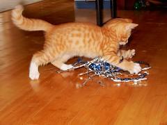 Kitten at Play (starmist1) Tags: kitten orange sevenweeks adoptnow howmanydoyouwant fluffy playful apetite cuteasabug boxtrained loving lapcat friend