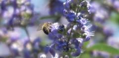 The worker (nathaliedunaigre) Tags: bee abeille macro fleursbleues blueflowers flowers fleurs bokeh été summer colors couleurs coloré colored nature détails details