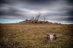 Dieback Gum Tree 2 (Eddy Summers) Tags: kosciuszkoroad dieback gumtree mannagum ribbongum monaro eucalyptusviminalis pentaxk1 pentax pentaxaustralia drought skull ram