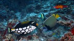 Clown triggerfish (antony5112) Tags: maldives clowntriggerfish triggerfish emperor emperorangelfish scuba scubadiving diving sub underwater reef moorish moorishidolfish idolfish angelfish