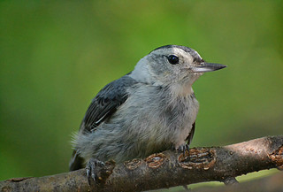 Nuthatch lounging on a hot humid day