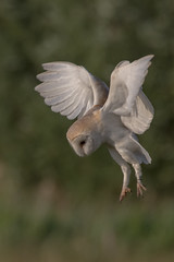 barn owl (2) (colin 1957) Tags: barnowl flight owl