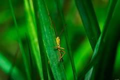 Chary (Rico the noob) Tags: grass bokeh closeup d500 switzerland outdoor insect 105mm animal 2017 macro schweiz grasshopper published 105mmf28 animals zurich dof schlieren nature