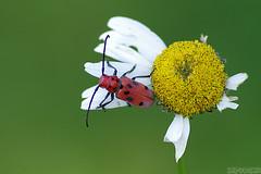 Should I Jump? (Vie Lipowski) Tags: redmilkweedbeetle tetraopestetrophthalmus daisy insect bug beetle flower weed milkweed wildflower wildlife nature macro