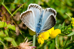 Chalkhill Blue (Gareth Christian) Tags: commonblue polyommatusicarus butterfly nikon macro d7000 kentwildlifetrust kwt fackendendown greenhill otford england unitedkingdom gb