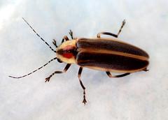 Male Firefly Photinus species (Bugldy99) Tags: animal arthropod arthropoda hexapod hexapoda coleoptera beetle firefly lightningbug