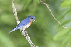 Eastern Bluebird (jackdean3) Tags: wildlife bird bluebird dean eastern jack kentucky nature