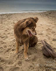 SZP_8922_pslr5 (Lakeside Annie) Tags: 2017 20170719 aussie australianshepherd bethanybeach bethanybeachde bethanybeachdelaware d7100 delaware denali july19 leannefzaras nikon nikond7100 redtri redtriaussie sarazphotography sigma sigma1770mm wednesday beachdog dog sandynose sandypaws beach delawarebeach