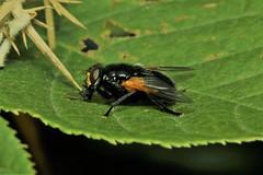 Mesembrina meridiana - Guernsey (Nick Dean1) Tags: mesembrinameridiana fly diptera hexapoda hexapod canon canon7d macro guernsey channelislands greatbritain
