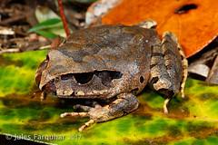 Mottled Barred Frog (Mixophyes coggeri) (Jules Farquhar.) Tags: mottledbarredfrog mixophyescoggeri frog microhylidae anura amphibia herpetofauna rainforest tropicalherping wettropics queensland qld farnorthqueensland wildlife mountlewis julesfarquhar