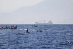 Orcas, Estrecho de Gibraltar (José Rambaud) Tags: orca orcinusorca orcas sea delphinidae mar straitofgibraltar estrechodegibraltar turmares seascape tarifa nature wild naturaleza wildlife