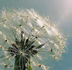 Nature's Clock (Jean Turner Cain) Tags: dandelion flower flora wildflower sky