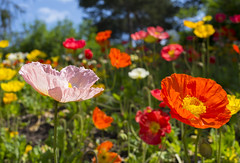 Poppies (s.d.sea) Tags: chicago botanic garden flower flowers spring summer poppy poppies pentax midwest enjoyillinois illinois glencoe k5iis 35mm outdoors color colorful northshore