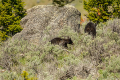 Wait for me (ChicagoBob46) Tags: blackbear bear cub yearling yellowstone yellowstonenationalpark nature wildlife