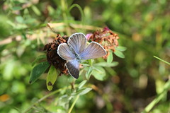 Violett blåvinge 'Plebejus optilete' (På upptäcktsfärd i naturen) Tags: blåberga juli fjäril butterfly violettblåvinge plebejusoptilete plebejus äktadagfjärilar papilionoidea juvelvingar lycaenidae polyommatinae polyommatini blåvingar