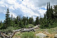 At Mt. Goliath (Patricia Henschen) Tags: mountgoliath denverbotanicgardens bristlecone pine pinus aristata treeline timberline coloradofrontrange frontrange mountevans mtevans mtevansscenicbyway scenicbyway mountains idahosprings colorado mountain clouds