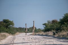 Welcoming committee (knipslog.de) Tags: welcoming committee welcome giraffes botswana botsuana safari adventure wildlife wild animals selfdrivesafari