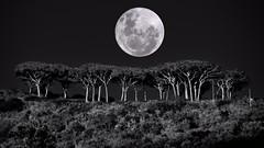 Pini marittimi (lucamarasca1) Tags: pini pinimarittimi alberi luna notte bianconero biancoenero nikon night isoladelba elbaisland nature light darkness tree trees moon blackandwhite bnw