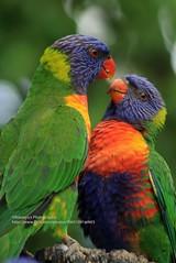 Coffs Harbour, Parrots (blauepics) Tags: australia australien coff harbour city stadt nature animal tier bird vogel papagei parrot green grün colourful farbig wild