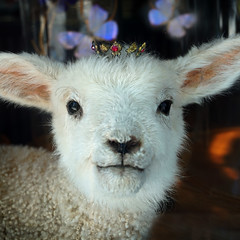 Lamb  of God (Seeing Visions) Tags: 2017 unitedstates us california ca losangelescounty pasadena storewindow lamb taxidermy butterfly wings crown jewel face ears wool square raymondfujioka