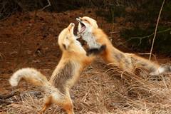 IMG_9007_edited-1 (tofer431) Tags: fox dispute ibsp