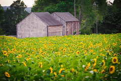 Buttonwood Farm Sunflowers (gabe.mirasol) Tags: nikon d600 vivitar 70205mm vintage telephoto flowers sunflowers farm outdoors color landscape