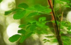 Blick durchs Blätterdach (Ernst_P.) Tags: aut inzing österreich tirol toblaten wald samyang walimex 135mm f20 laub baum blatt leaf hoja tree arbol