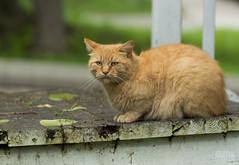 Little Tabby (Keztik) Tags: domestic domestique cat chat tabby ginger orange nikon d3200