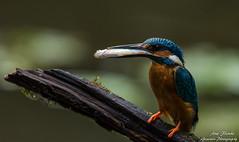 Fütterung der zweiten diesjährigen Brut. Wildlife,Wümmeniederung-Bremen. ©Arne Flemke (Cristoforo Colombo) Tags: kingfisher eisvogel wümme wümmewiesen blockland bremen