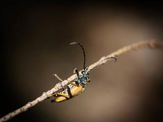Bock auf Käfer?  Bockkäfer - Cerambycidae