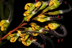 Grevillea Venusta (andreas lambrianides) Tags: grevilleavenusta proteaceae rustygrevillea australianflora australiannativeplant threatened australiannativeflowers queensland sclerophyllforest woodland grevillea byfieldspiderflower threatenedspecies