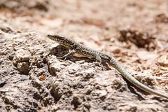 Montpellier-le-Vieux (RunningRalph) Tags: france frankrijk hagedis lizard montpellierlevieux reptiel reptile laroquesaintemarguerite occitanie