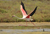Flamingo - Phoenicopterus roseus - Greater Flamingo (merijnloeve) Tags: flamingo phoenicopterus roseus greater spain laguna de la tancada es amposta delta lebre tarragona