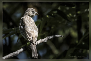 Roselin pourpré / Purple Finch / Carpodacus purpureus / Juvenile