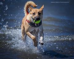 Poppy's first trip to the beach (Explored!) (namra38) Tags: poppy armanwerthphotography dog fetch beach longbeach washington washingtonstate