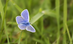 Common Blue Butterfly (Paula Darwinkel) Tags: butterfly bluebutterfly commonblue insect invertebrate animal wildlife nature
