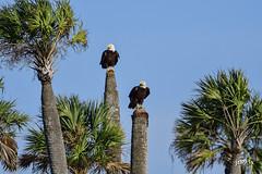 American Bald Eagles (jt893x) Tags: 150600mm americanbaldeagle baldeagle bird d500 eagle haliaeetusleucocephalus jt893x nikon nikond500 palmtree raptor sigma sigma150600mmf563dgoshsms specanimal