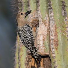 Gila Woodpecker (Turk Images) Tags: gilawoodpecker gilbertriparianreserve melanerpesuropygialis arizona birds desert giwo gilbert phoenix picidae winter woodpeckers