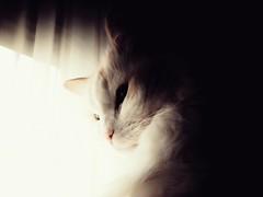 Wise (J.C. Moyer) Tags: ragdoll ragdollcat james jamestheragdoll light dark animal pet wise respect love motorolamotog4plus cute lightdark cat