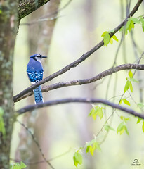 Blue Jay at Rest *in explore* (Glatz Nature Photography) Tags: bluejay corvidae cyanocittacristata forest glatznaturephotography greatlakes minnesota nature nikond5 northamerica northwoods northernminnesota vinceshutewildlifesanctuary wildanimal wildlife inexplore explore