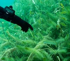 ASM Plongée, Brochet, Gravière du Fort - Site 4566.jpg (Hugues Brun) Tags: asmplongée site plongée gravièredufort animaux poissons brochet themes