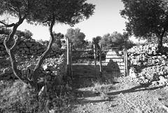 Mali Losinj (difridi) Tags: dirfridi malilosinj losinj croatia hrvatska kroatien olivenbaum mediterranian blackandwhite schwarzweiss monochrome