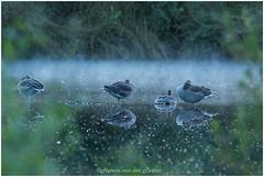 klaar voor de nacht (HP030036) (Hetwie) Tags: schemer nature twilight zonsondergang gans ganzen goose geese natuur vogel avond sunset bird meerbaansblaak grootepeel peel evening ospel limburg nederland nl