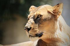 Lionne d'Afrique - Zoo de la Palmyre- France (Gwaldel PASQUET) Tags: lion leo leon félin feline animals animaux mammal canon70d canon wildlife wild nature zoo afrique